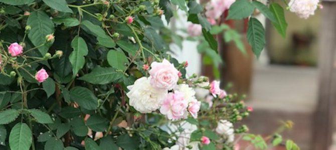 アトリエKYOKOのバラが咲いています